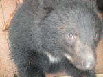 A close up of an adult at Bear Village, which houses roughly 100 bears