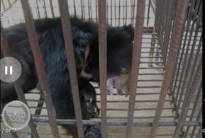 Bear at Laos farm, illegal, 2018