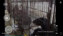 Bears at Laos farm, illegal, 2018
